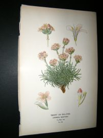 Step 1897 Antique Botanical Print. Thrift Of Sea Pink